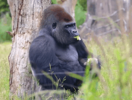 London Zoo gorilla escape: 4 lessons on how to handle an emergency